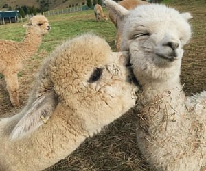 animal, alpaca, and love image