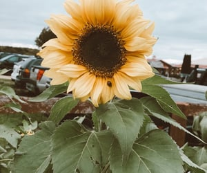 aesthetic, flower, and sunflowers image
