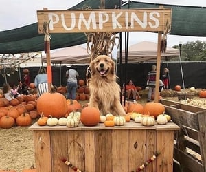 dog, pumpkin, and autumn image