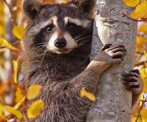 raccoon, animal, and autumn image
