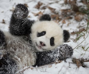 Animales, oso panda, and cute image