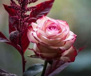 flores, naturaleza, and rosa image