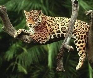 animal, jaguar, and nature image
