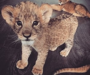 aesthetic, lion, and haustier image
