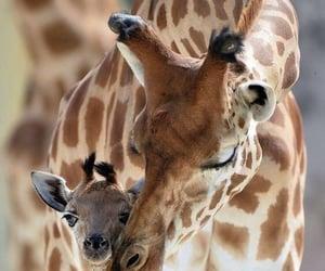 we heart it, aesthetic, and giraffe image