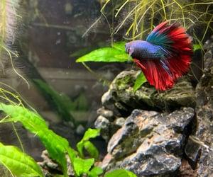 animals, aquarium, and betta image