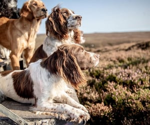 animals, dogs, and spaniels image
