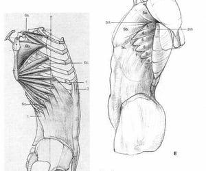 anatomy, human anatomy, and ink image