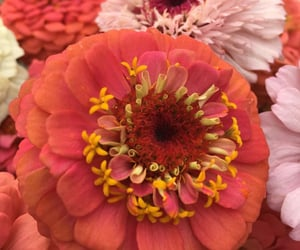 flowers, flores, and zinnia image