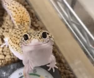 animal, fun, and gecko image