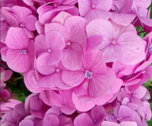 flor, flower, and hortensia image