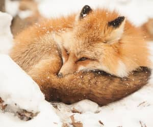 animals, fox, and winter image