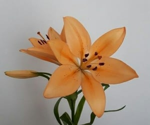 aesthetic, flowers, and lily image