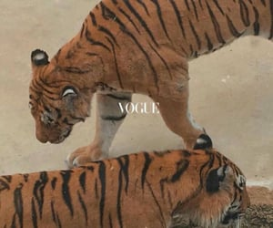 vogue, animal, and tigers image