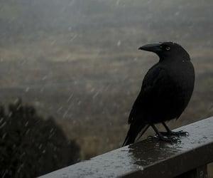 raven, bird, and black image