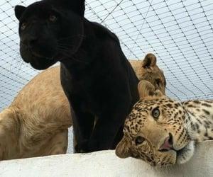 animal, feline, and black image