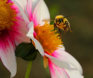 bee, Canon 40D, and dahlia image