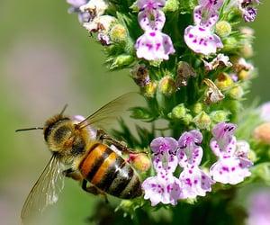 honeybee, bee, and flowers image