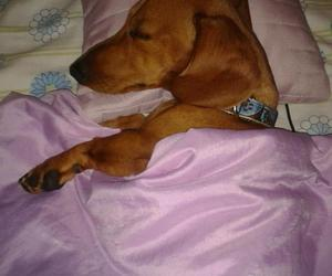 adorable, dachshund, and picture image