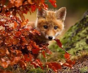 fox, autumn, and animal image