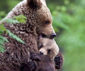 animals, bears, and bear mom image