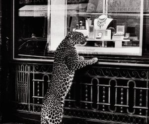 cartier, black and white, and tiger image