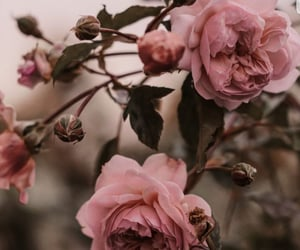 flowers, rose, and wallpapers image