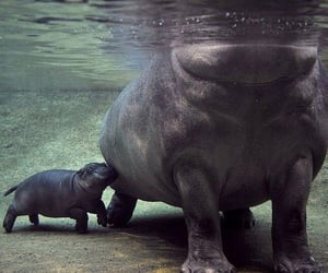 funny and hippo image