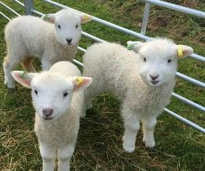 soft, animal, and sheep image