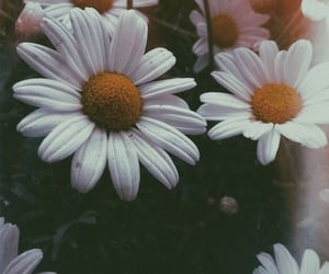 wallpaper, background, and daisy image