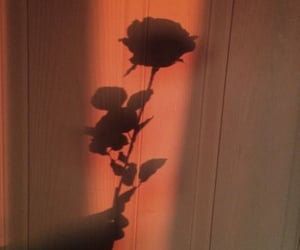 rose, flowers, and shadow image