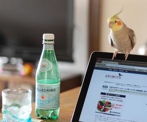 bird, cockatiel, and pc image