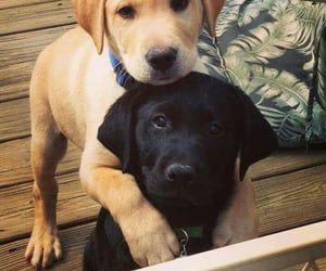 dog, labrador, and puppy image