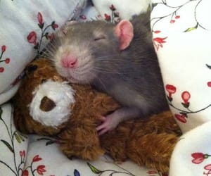 rat, animal, and teddy bear image