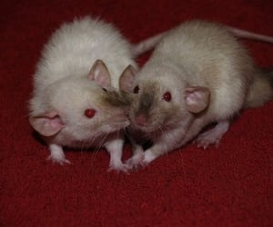 rat, red, and aesthetic image