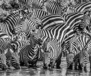 africa, animals, and b&w image