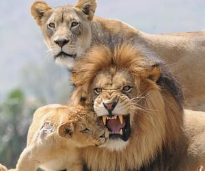 lions, cats, and animals. wildlife image