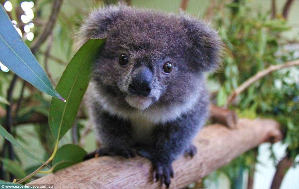 archer, baby animals, and koalas image