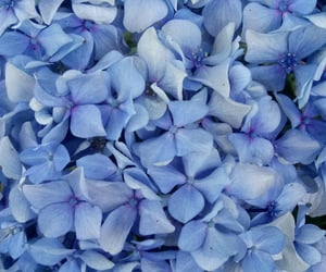blue, flower, and hortensia image