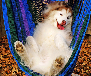 dog and hammock image