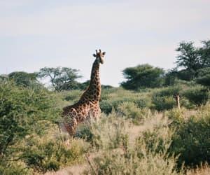 giraffe africa and wildlife animals safari image