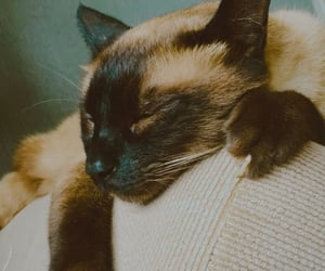 alfredo, animal, and cat image
