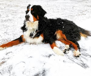animals, bernese, and berners image