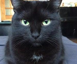 animals, black, and cat image