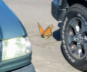 butterfly and alternative image