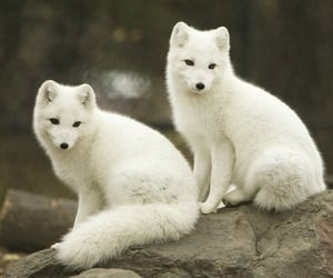 amazing, animals, and arctic fox image