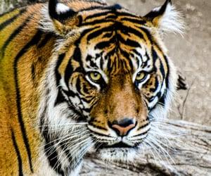big cat, indonesia, and beautiful animal image