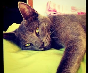 cat, green eyes, and blue grey image