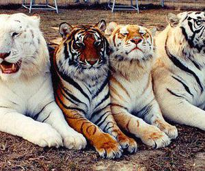 tiger, tigers, and animal image