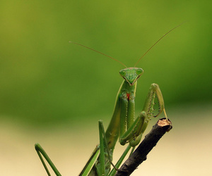 alien, green, and mantis image